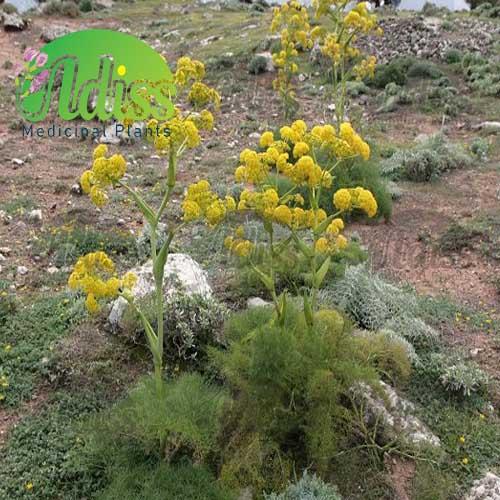 خاصیت گیاه باریجه