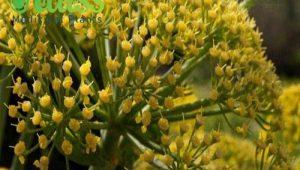 انواع باریجه مرغوب ایرانی