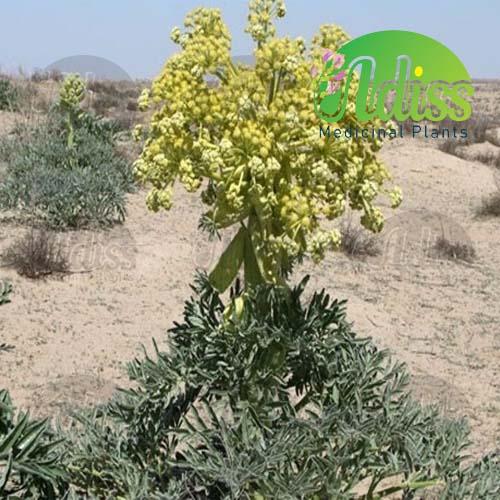 گیاهان دارویی ایرانی